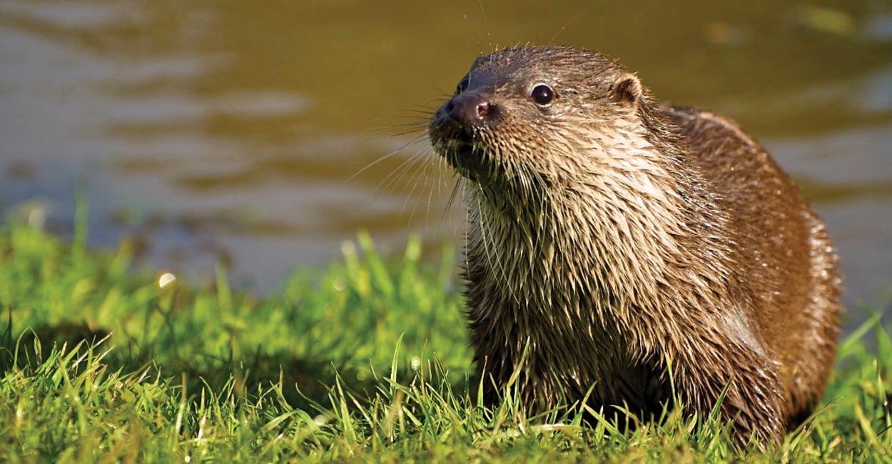 Otter by a river